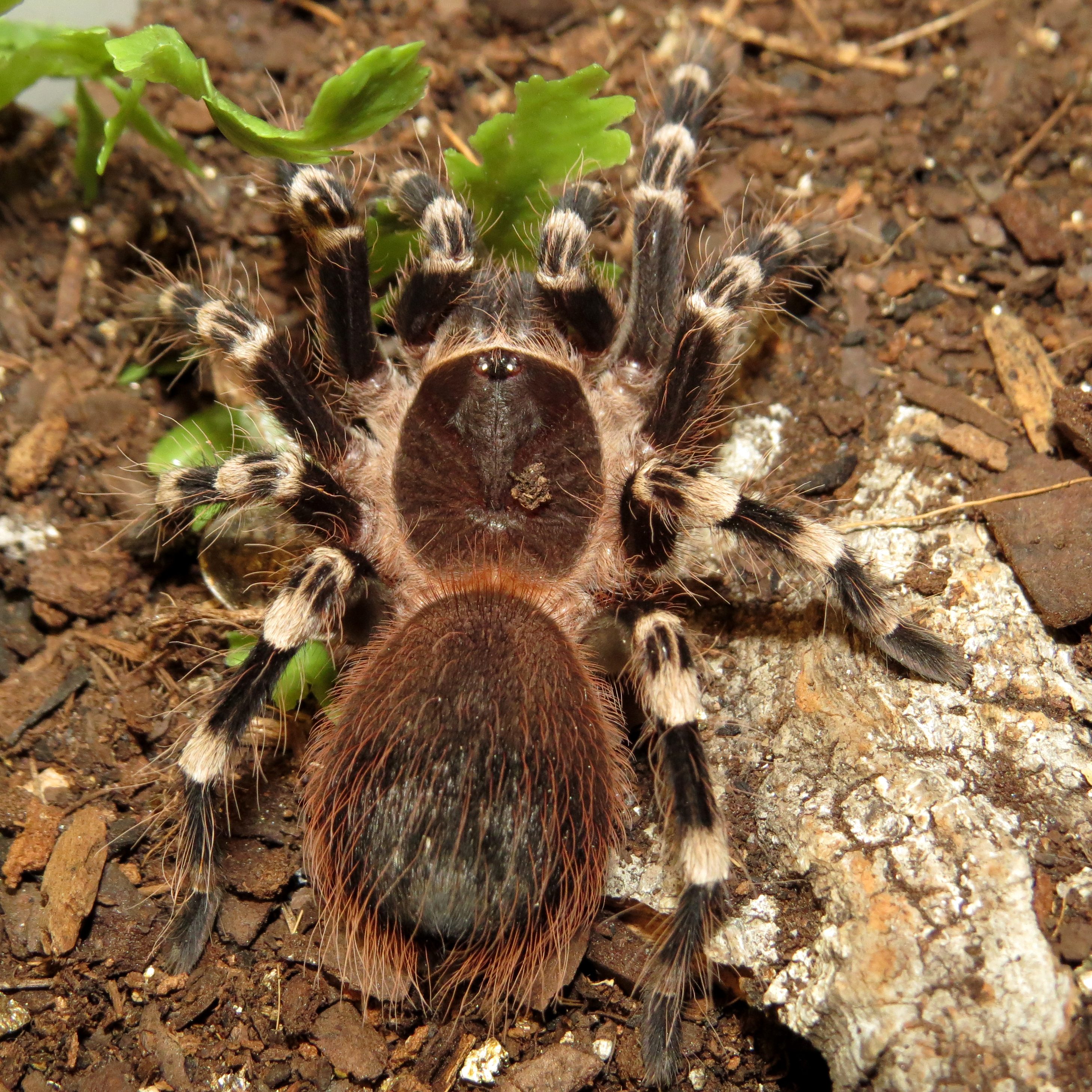 "On the Hunt (♂ Acanthoscurria geniculata 3"")"