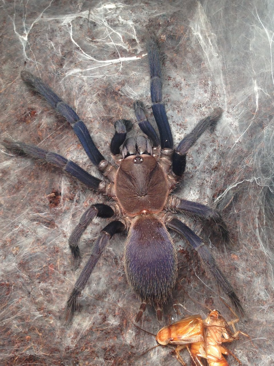 "Orphnaecus sp. ""Blue Quezon"" Female"