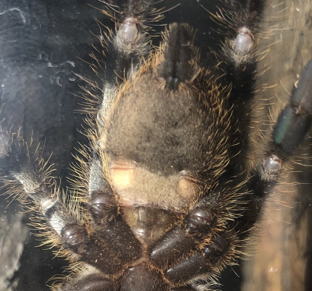 "P.regalis 3"" male of female ?"