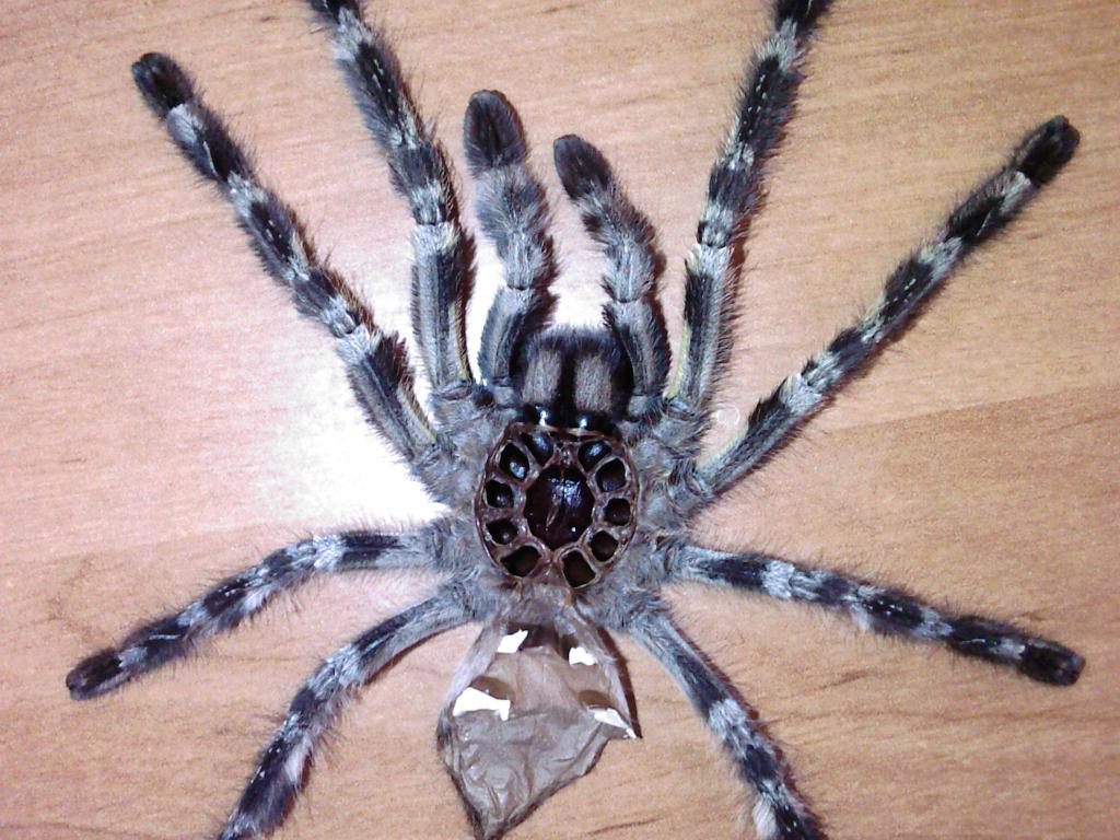 P.regalis Male/female?
