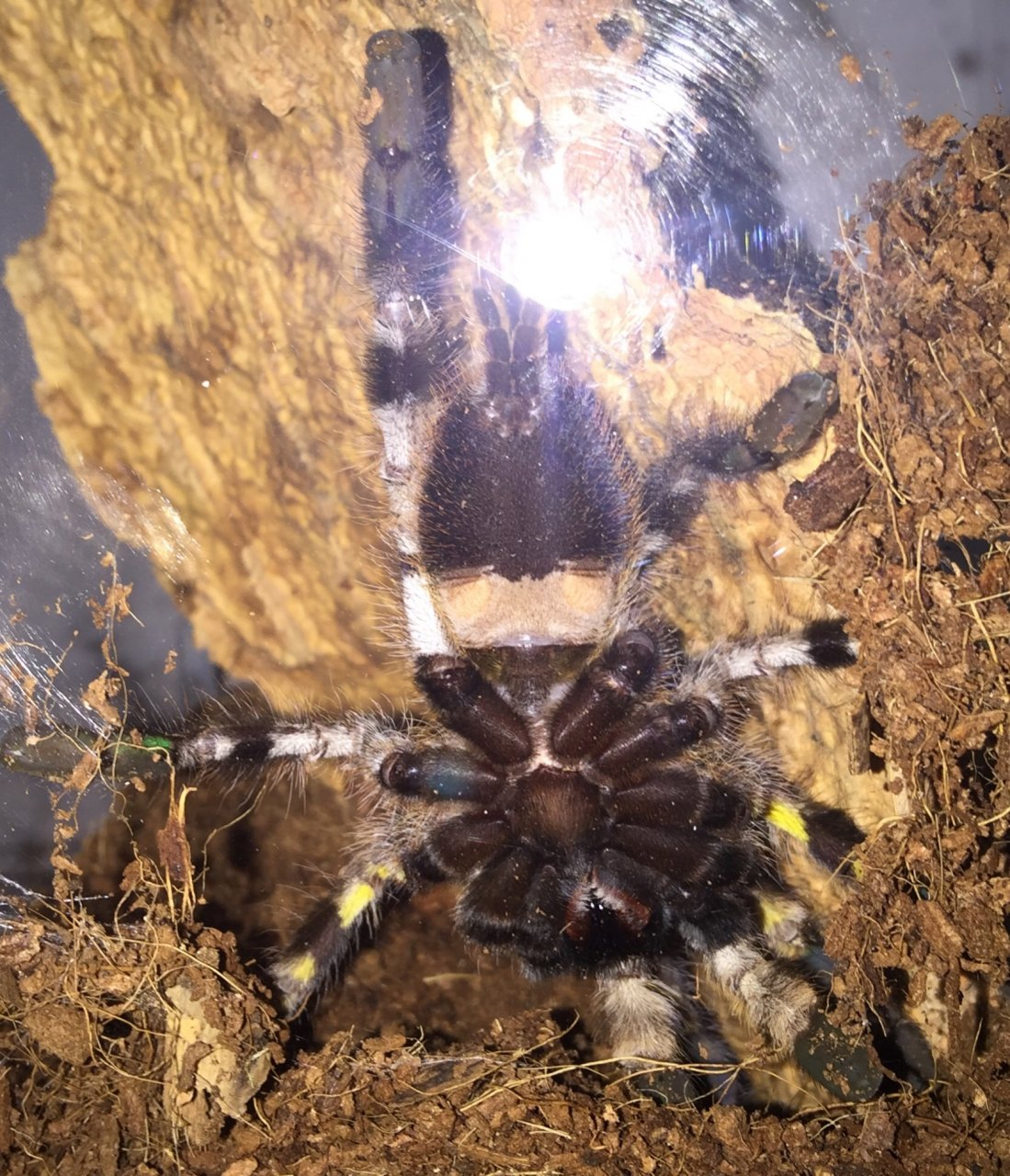 P.regalis sex?