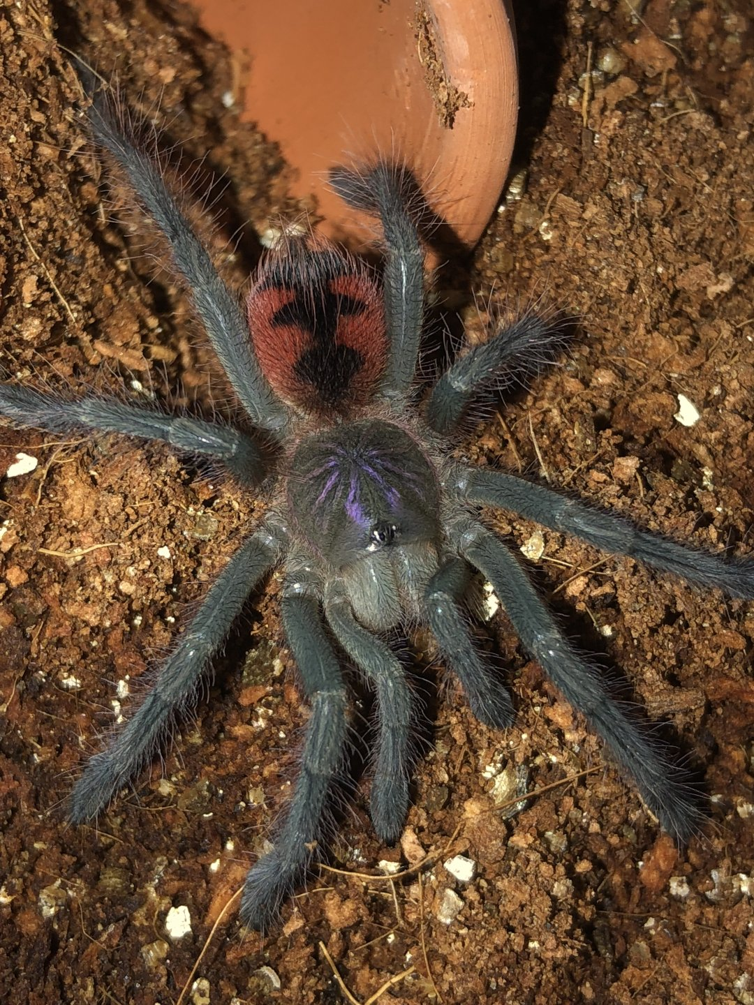 Pamphobeteus sp. 'manabi'
