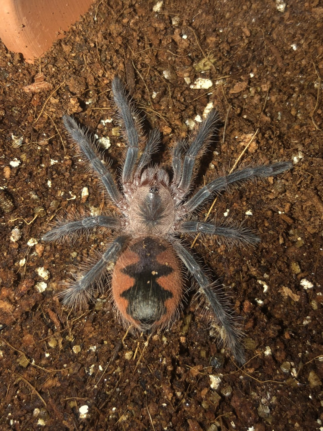 Pamphobeteus sp. 'mascara'