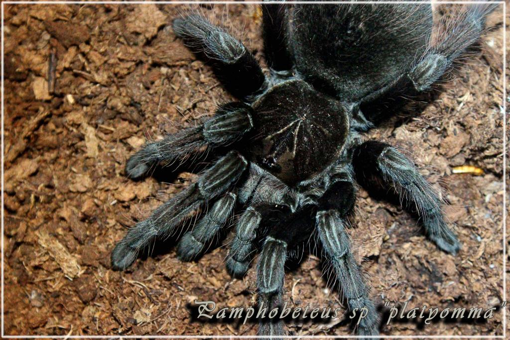 Pamphobeteus sp platyomma