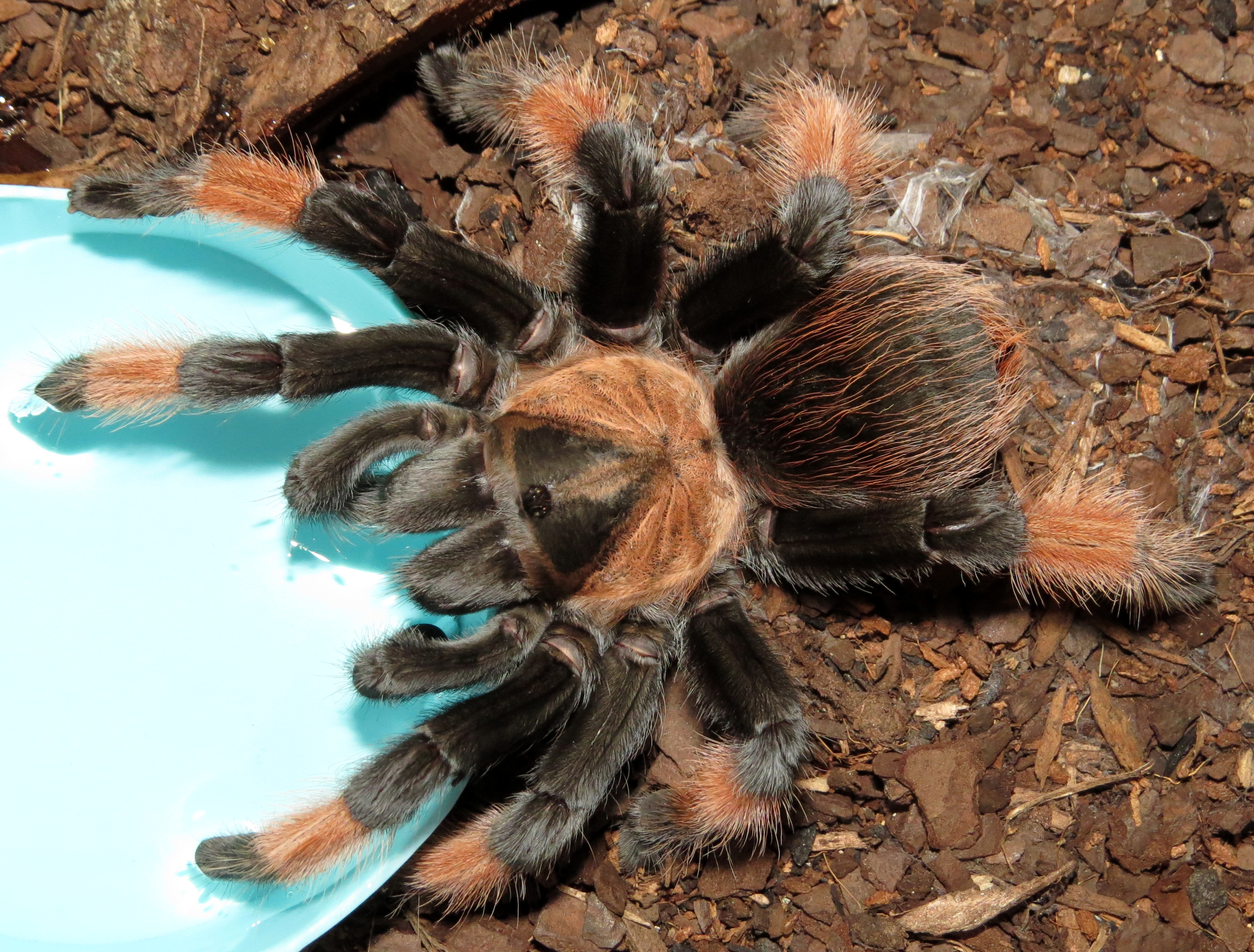 "Petra Makes a Big Splash (♀ Brachypelma emilia 4.5"")"