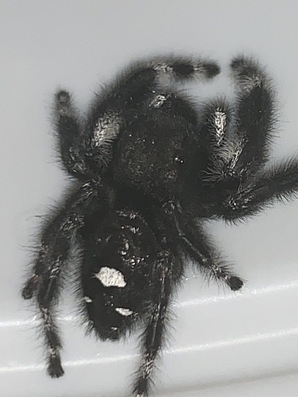 Phidippus additional photo