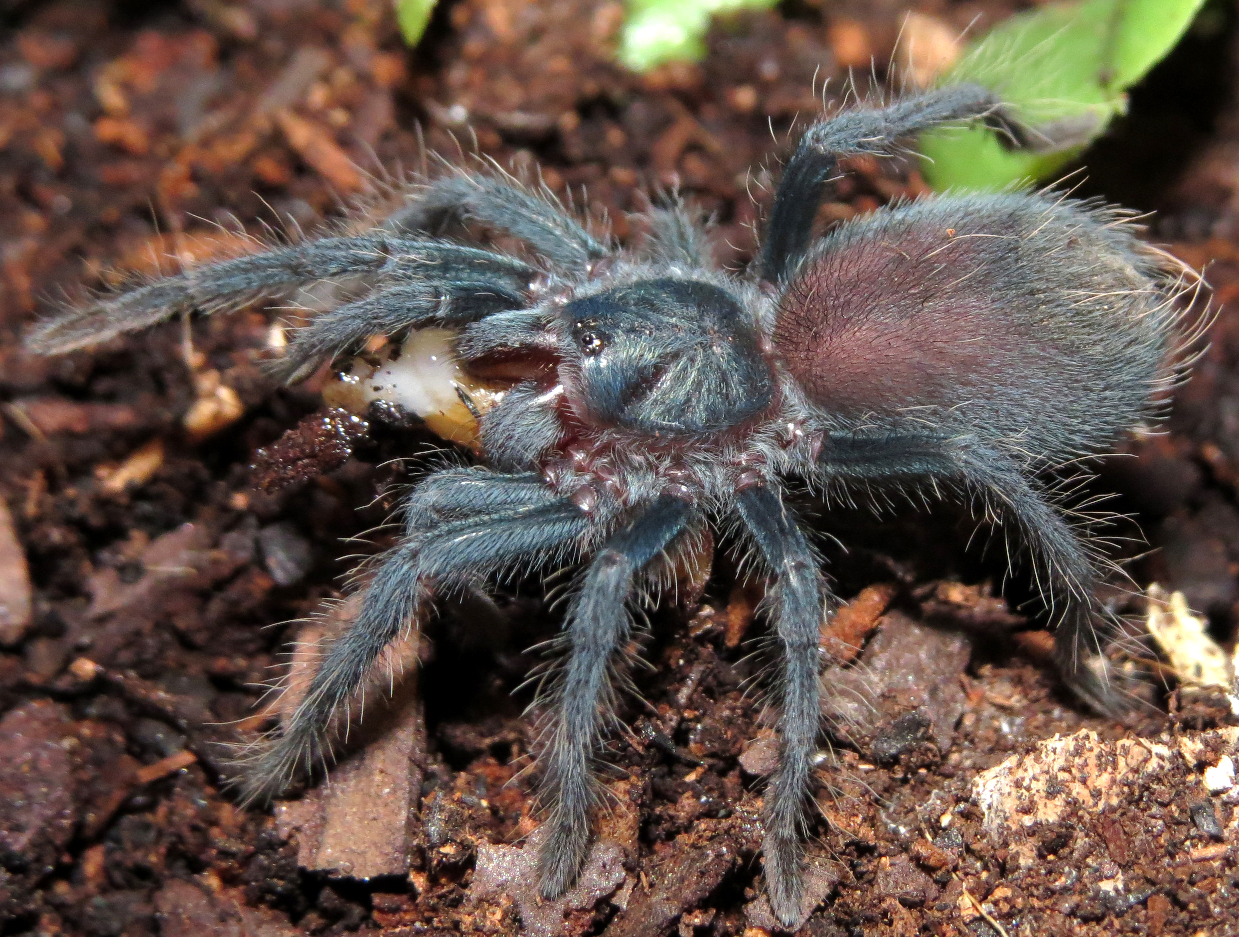 "Phormictopus sp. ""south Hispaniola"" Sling Feeding"