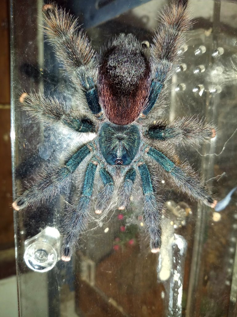 Please help me ID this Avicularia