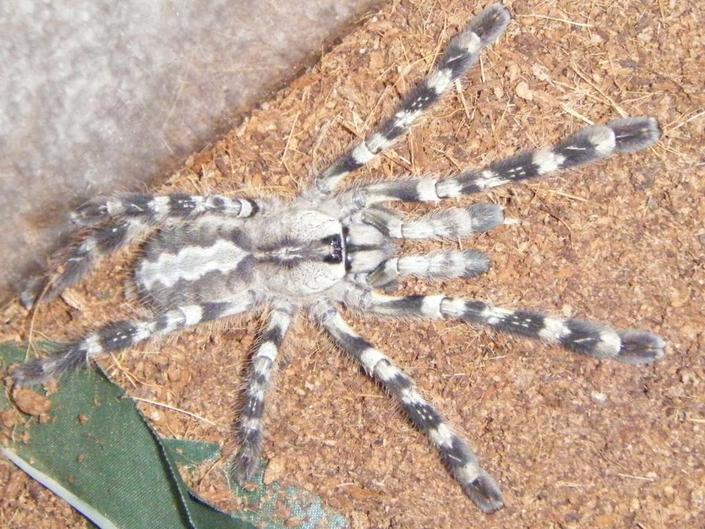 "poecilotheria ""Indian"""