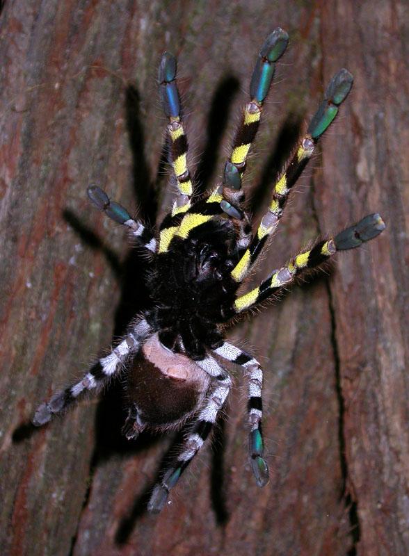 poecilotheria regalis arachnoboards