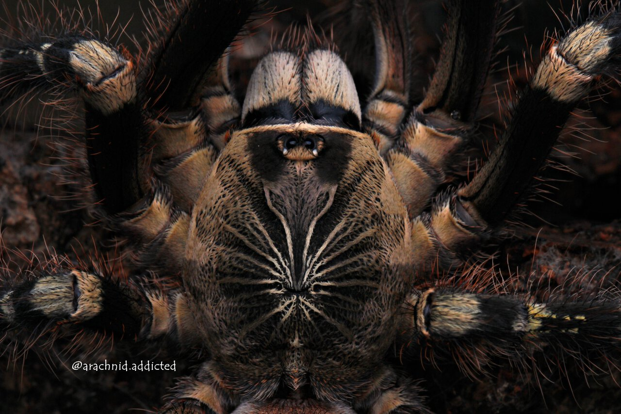 "Poecilotheria subfusca ""Whatever Land""."