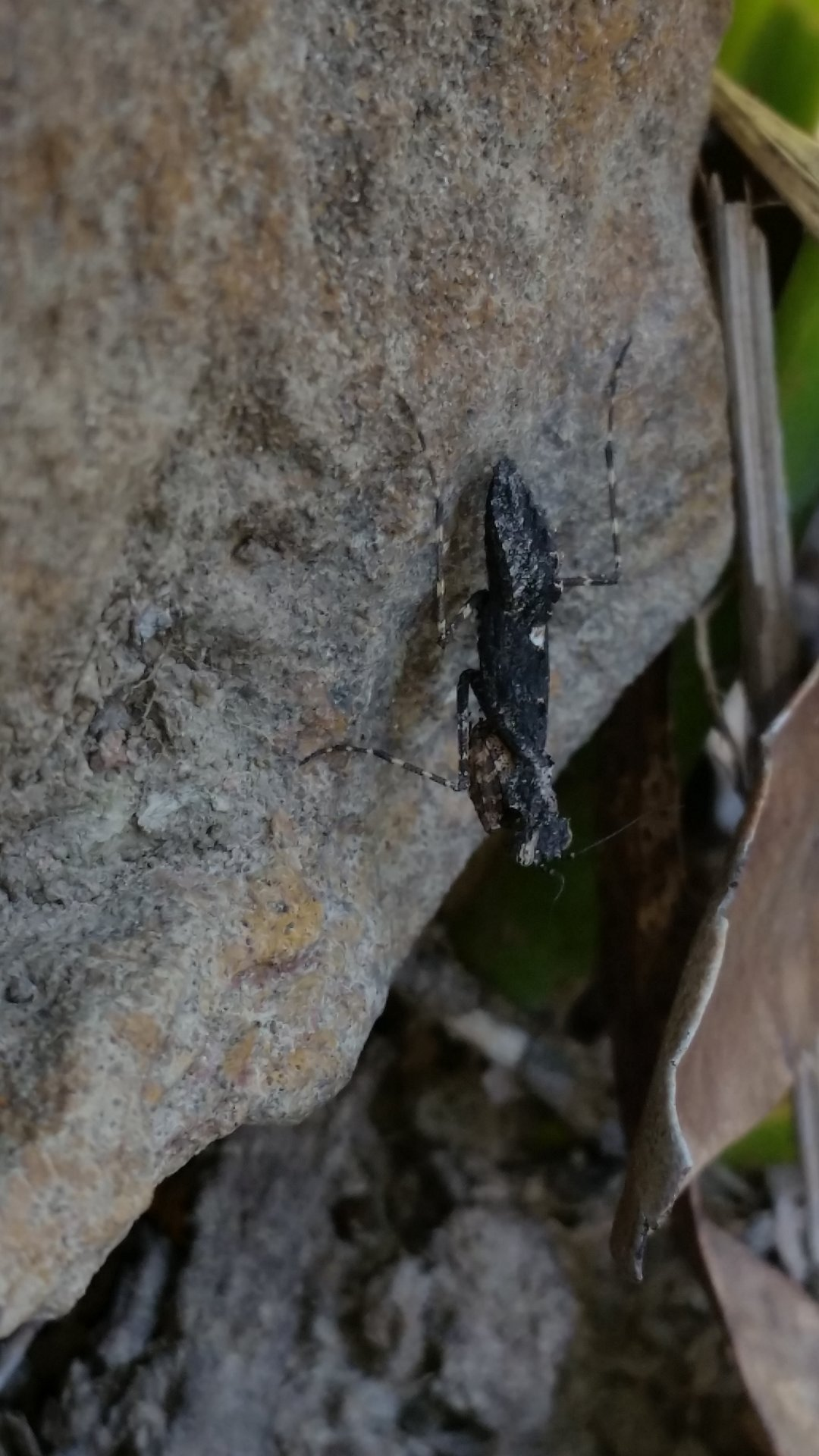 Rock mantis