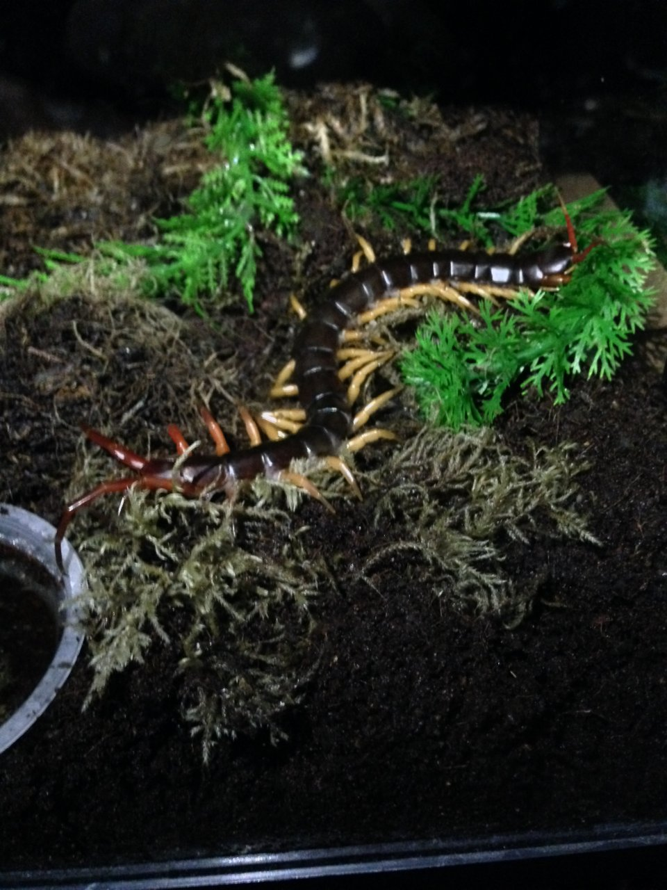 Scolopendra Dehanni Arrives Tonight