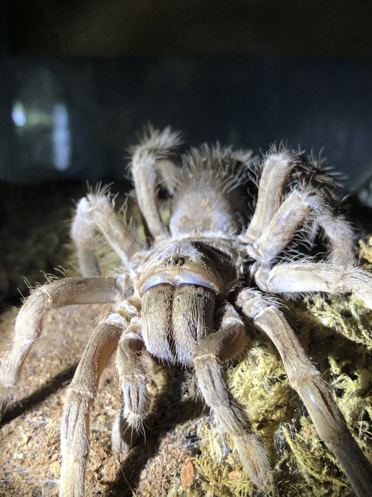 Selenotypus Sp Goddess