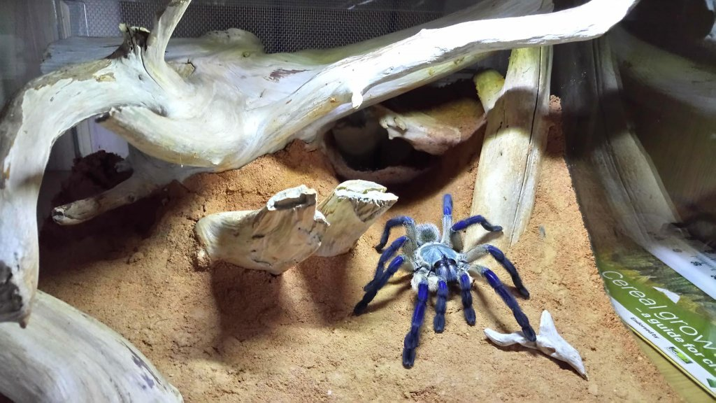 Set up for my M.balfouri (adult female)