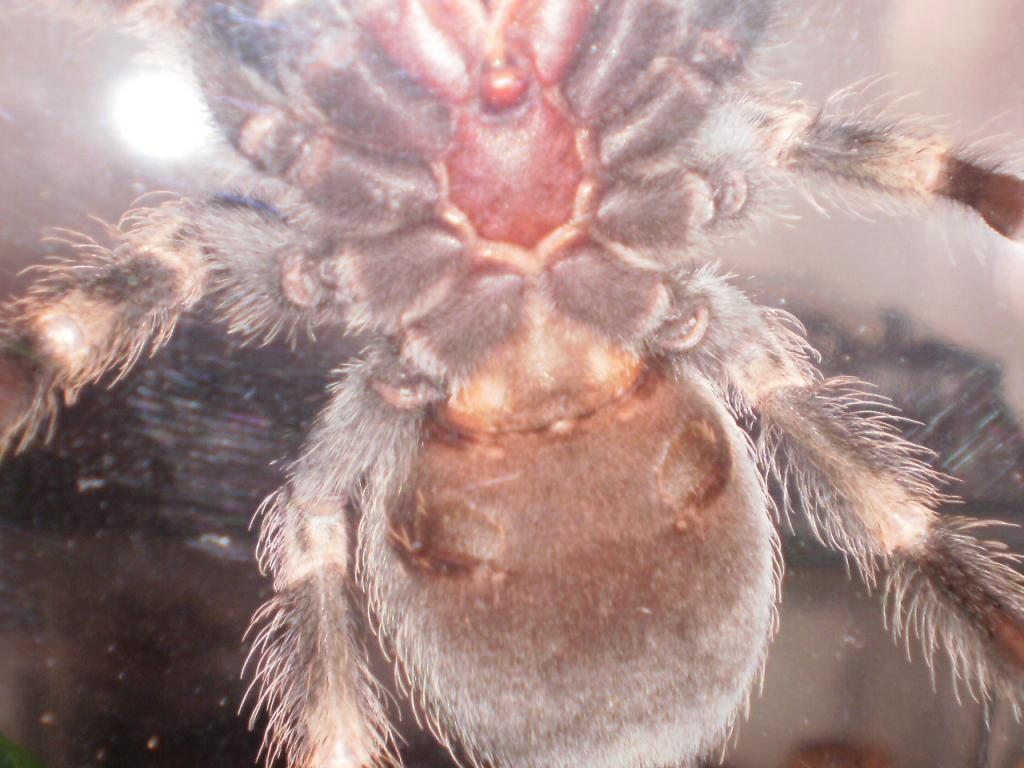 smithi once again