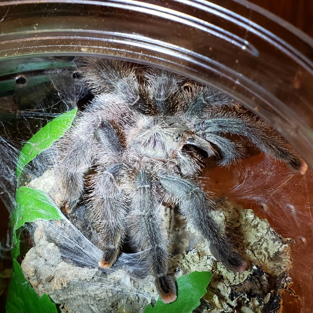 Sold as Avicularia juruensis (ex urticans)
