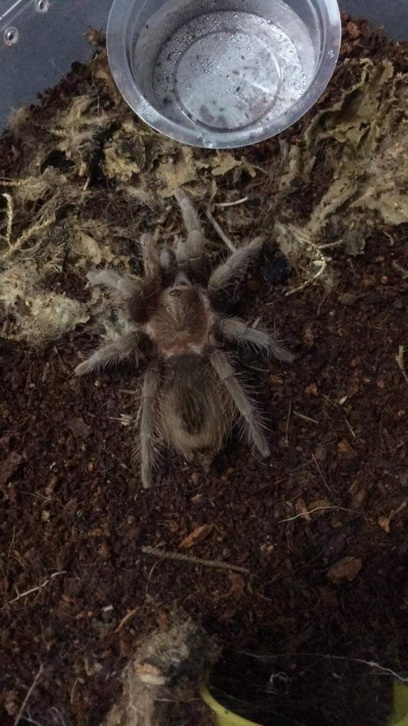 Sold As Brachypelma vagans