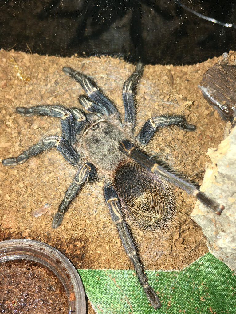 Sold as suspect female Homoeomma sp blue