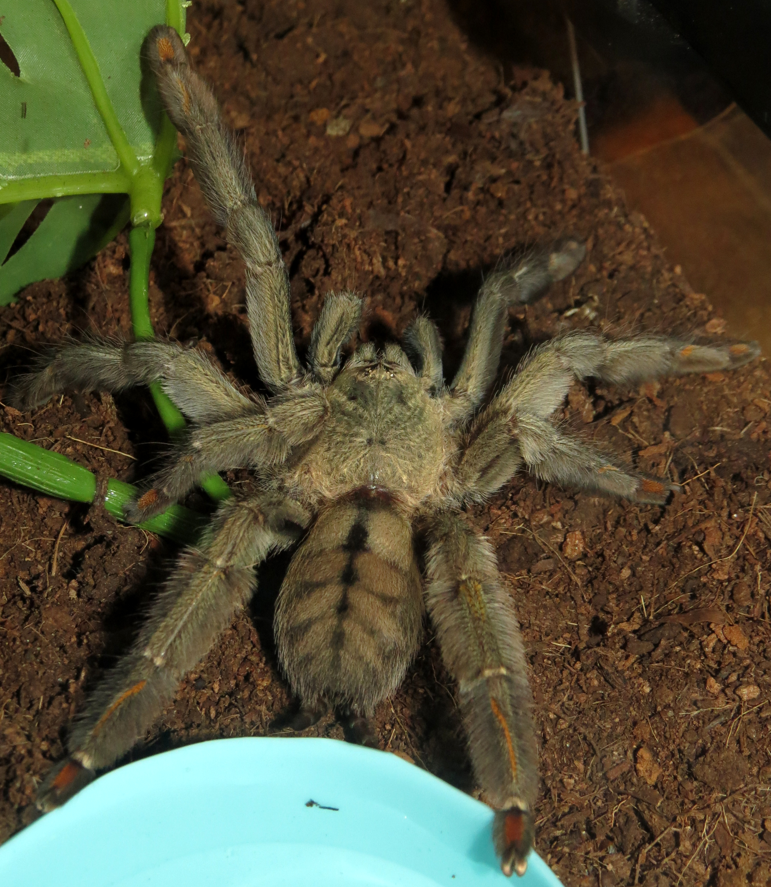 "Squirt (♀ Psalmopoeus cambridgei 5"")"