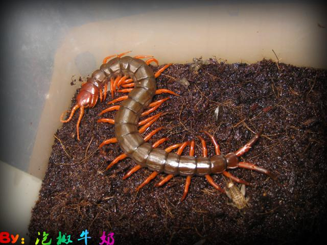 Subspinipes ssp