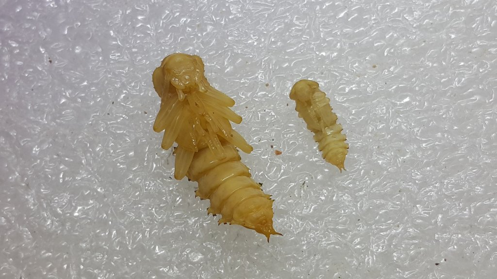 Superworm and Mealworm Pupae
