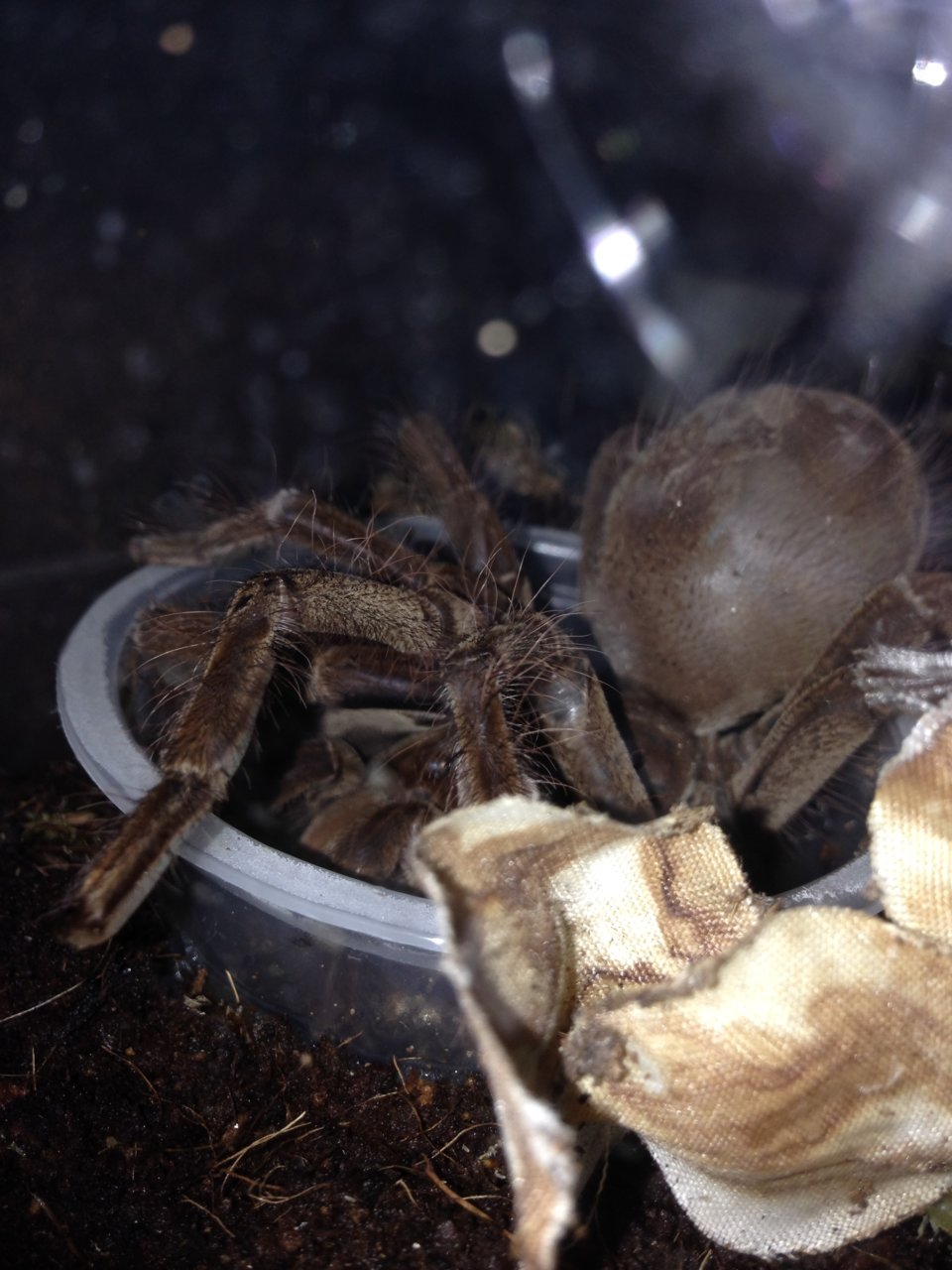 T. stirmi drinking from water dish