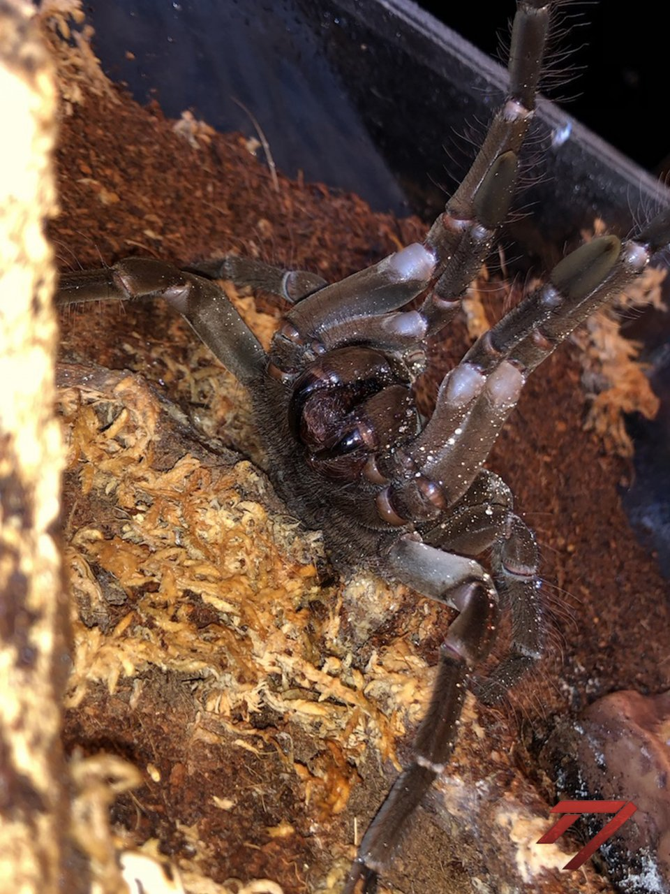 T. stirmi male threat posture