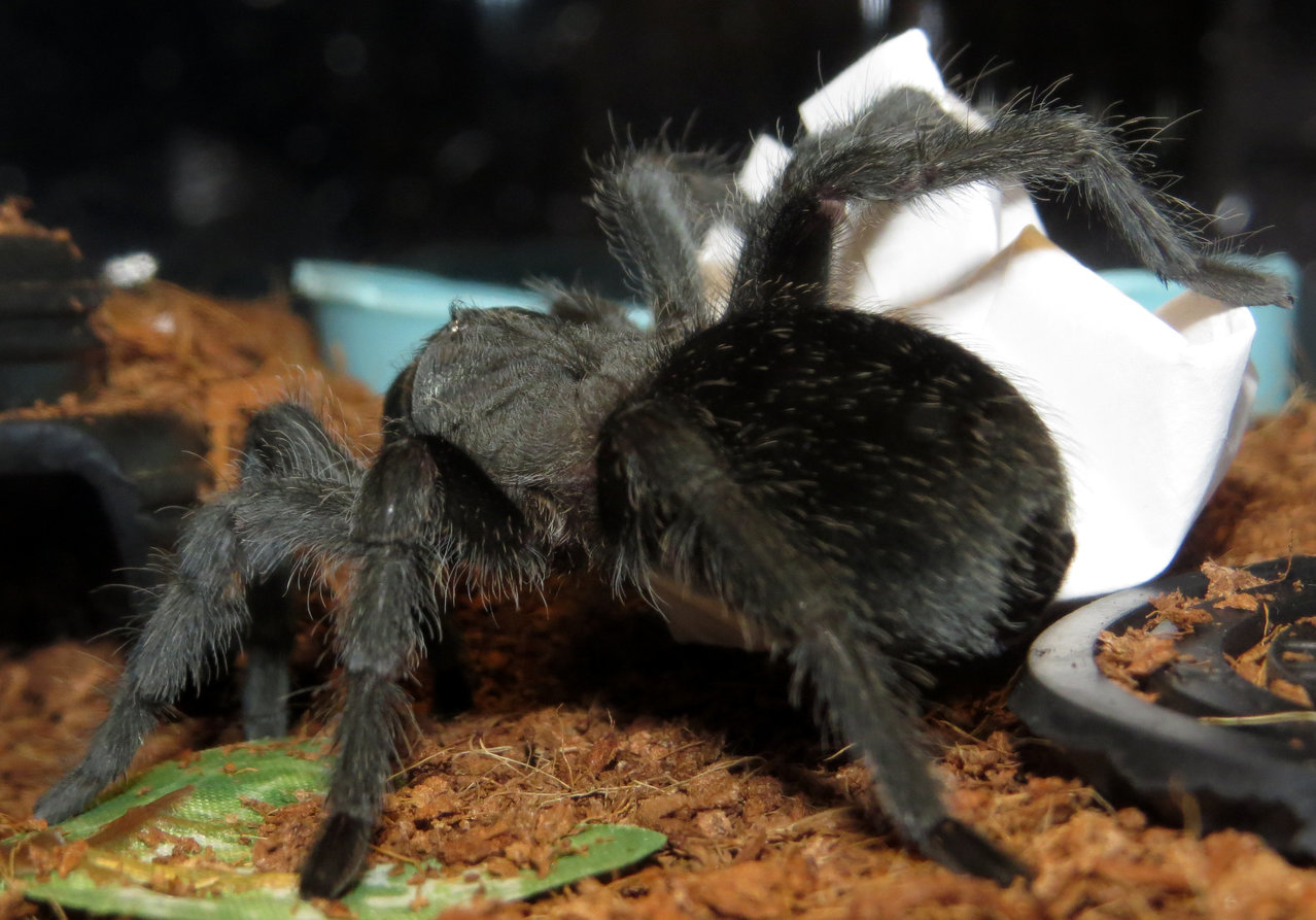 Taking Out the Trash (Grammostola pulchra)