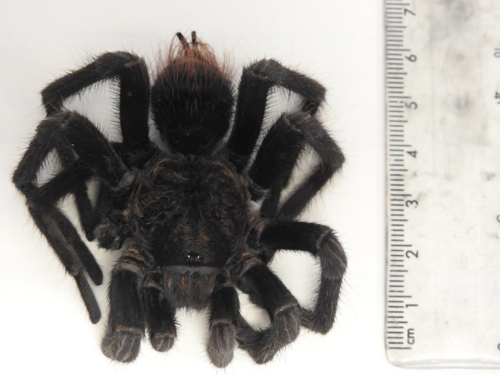 Tarantula from Cayman Islands