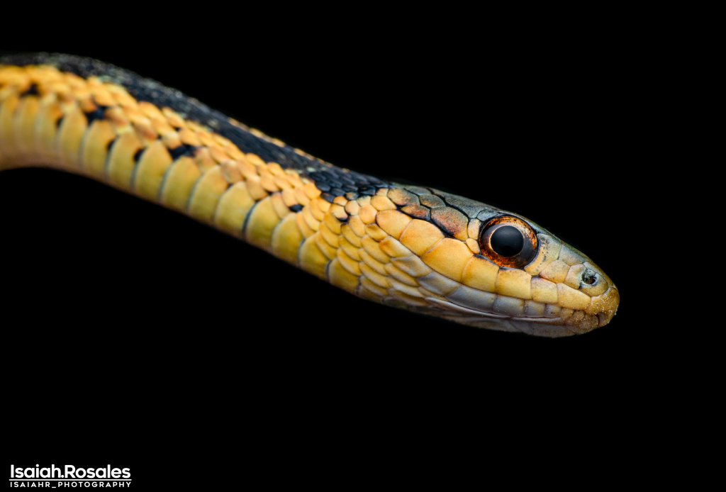 Thamnophis sp.
