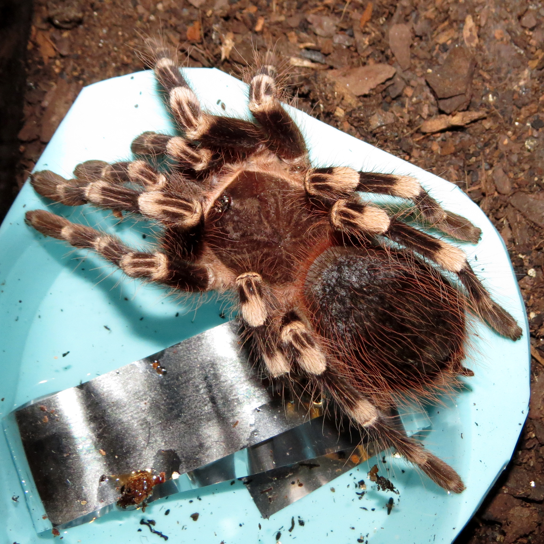 "The Ignominy of Defeat (♂ Acanthoscurria geniculata 4"")"