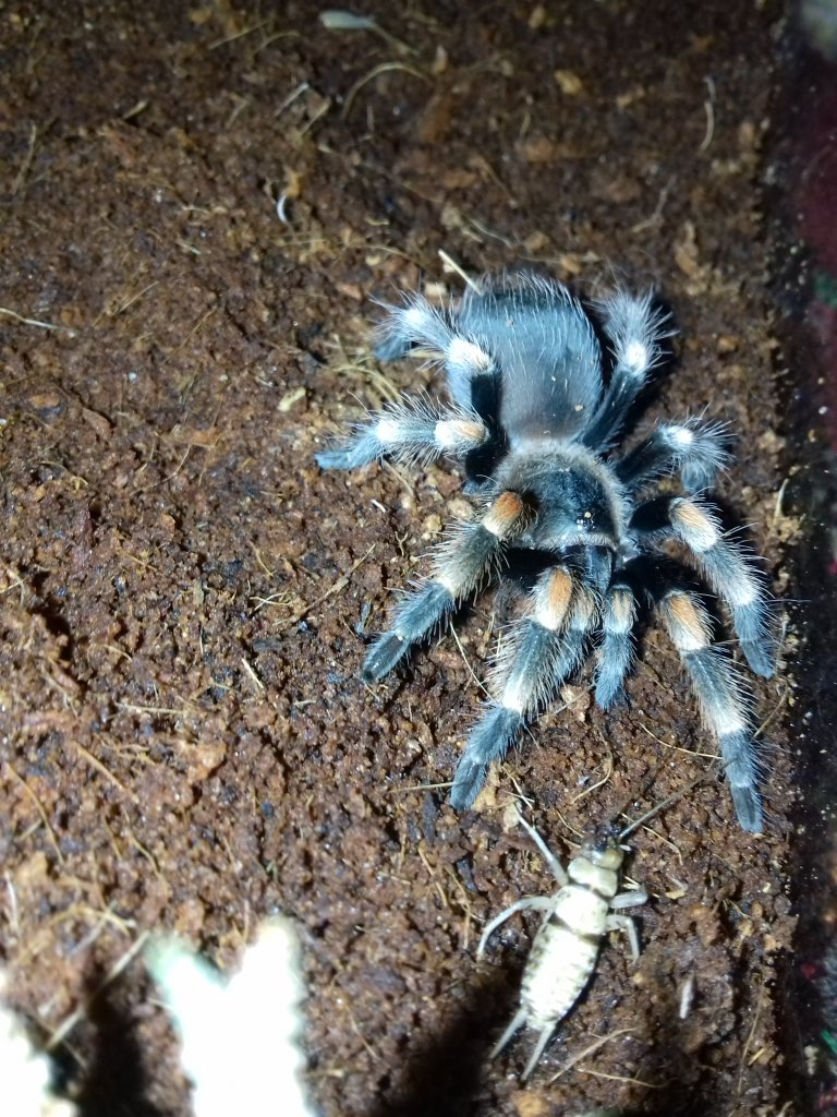 The stare of death (Brachypelma hamorii)