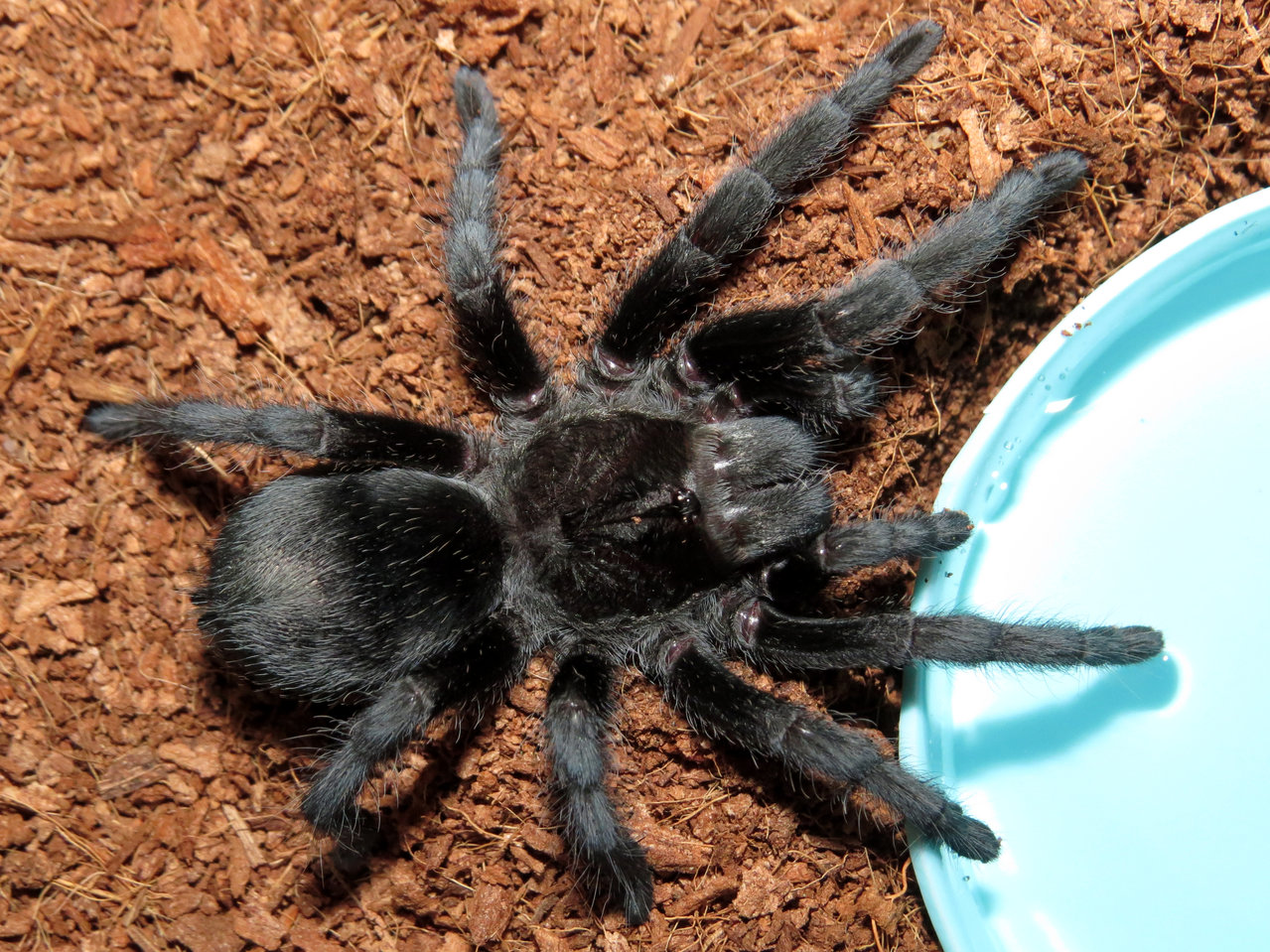 "The Watering Hole (♀ Grammostola pulchra 3.5"")"