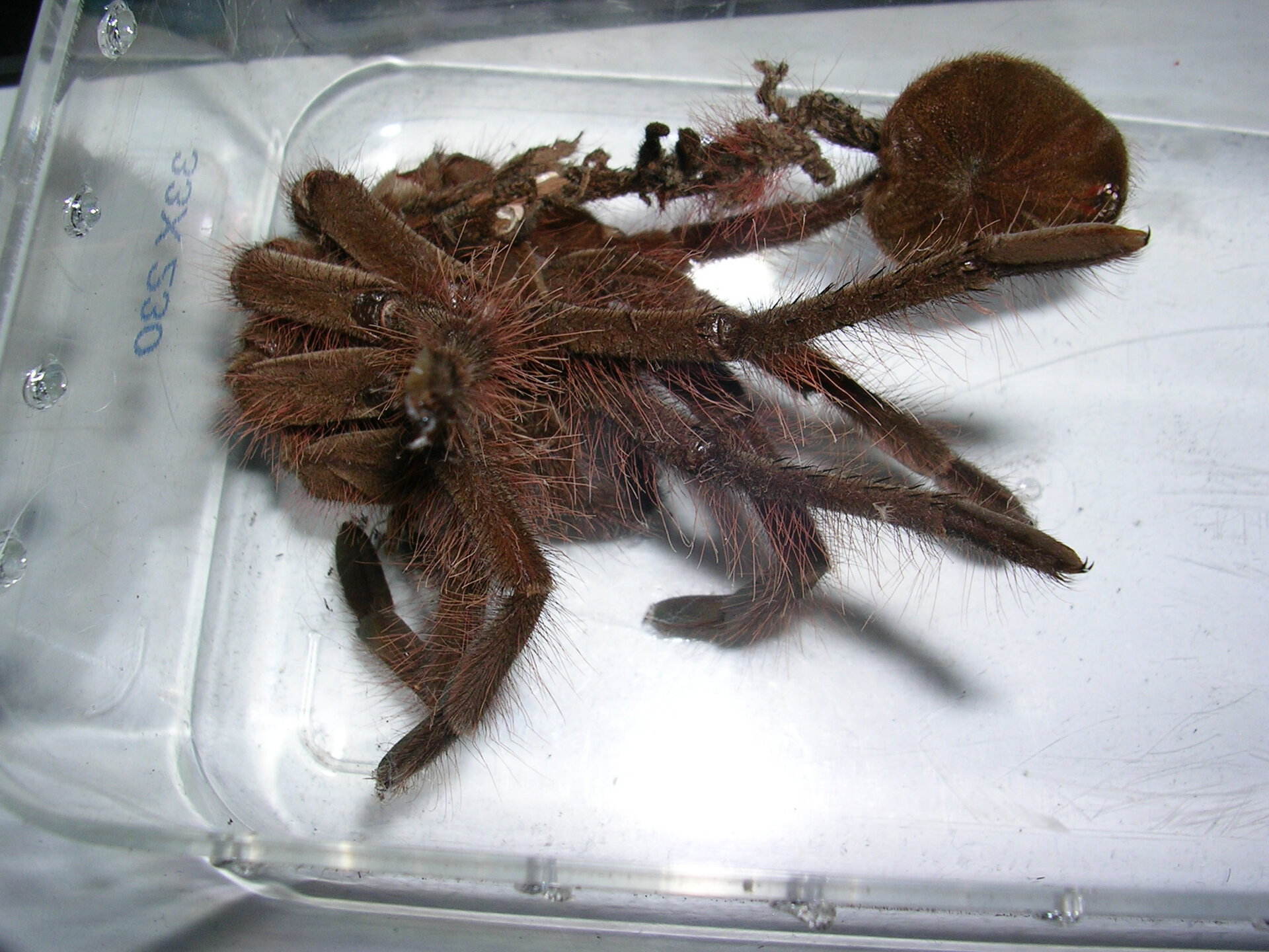 Theraphosa blondi Exuviae