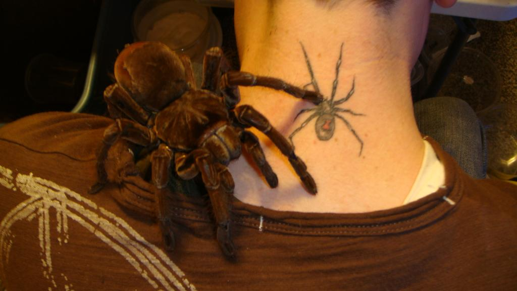 Theraphosa blondi 'Goliath Birdeater' | Arachnoboards