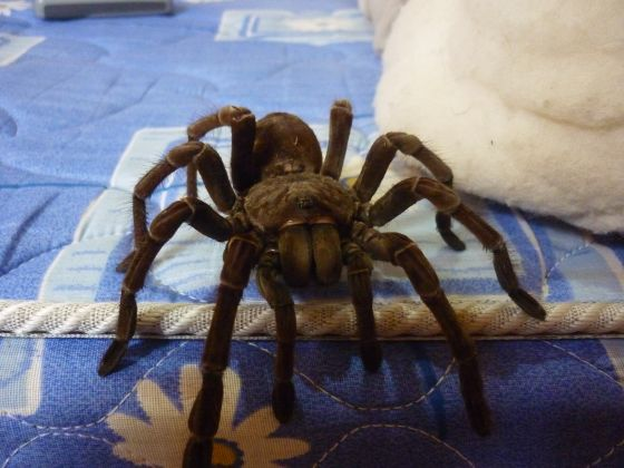 Theraphosa Spinipes