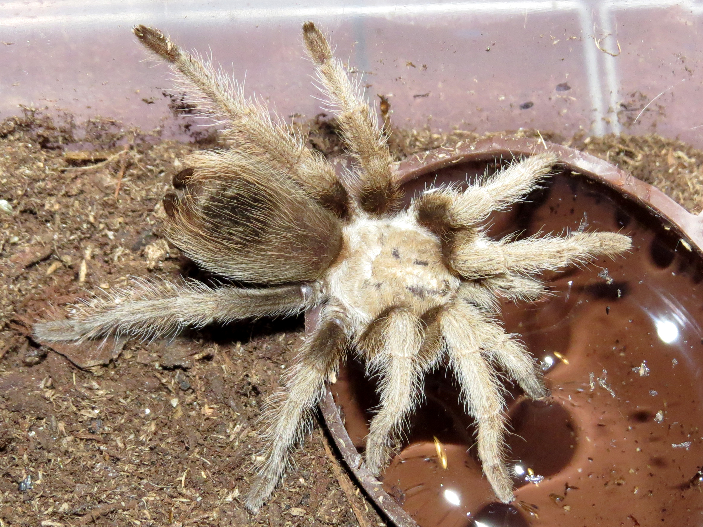 "Thirsty Aphonopelma chalcodes (2"")"