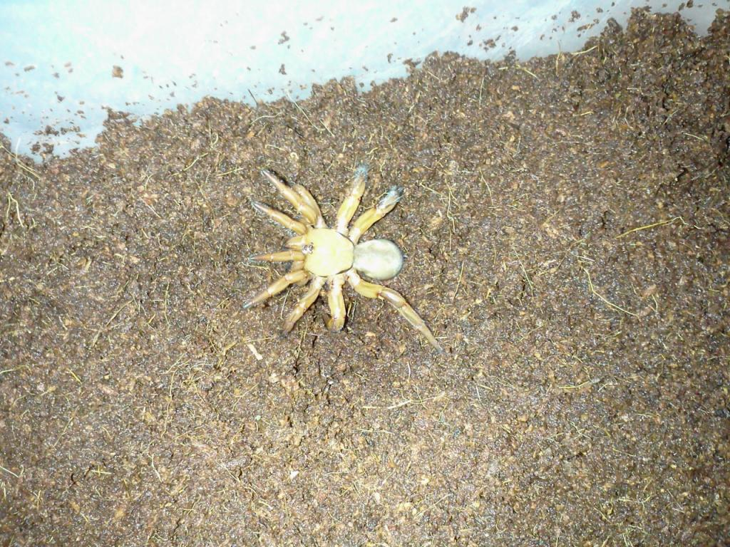 This Was Sold As A Tanzanian Red Trapdoor Spider Arachnoboards