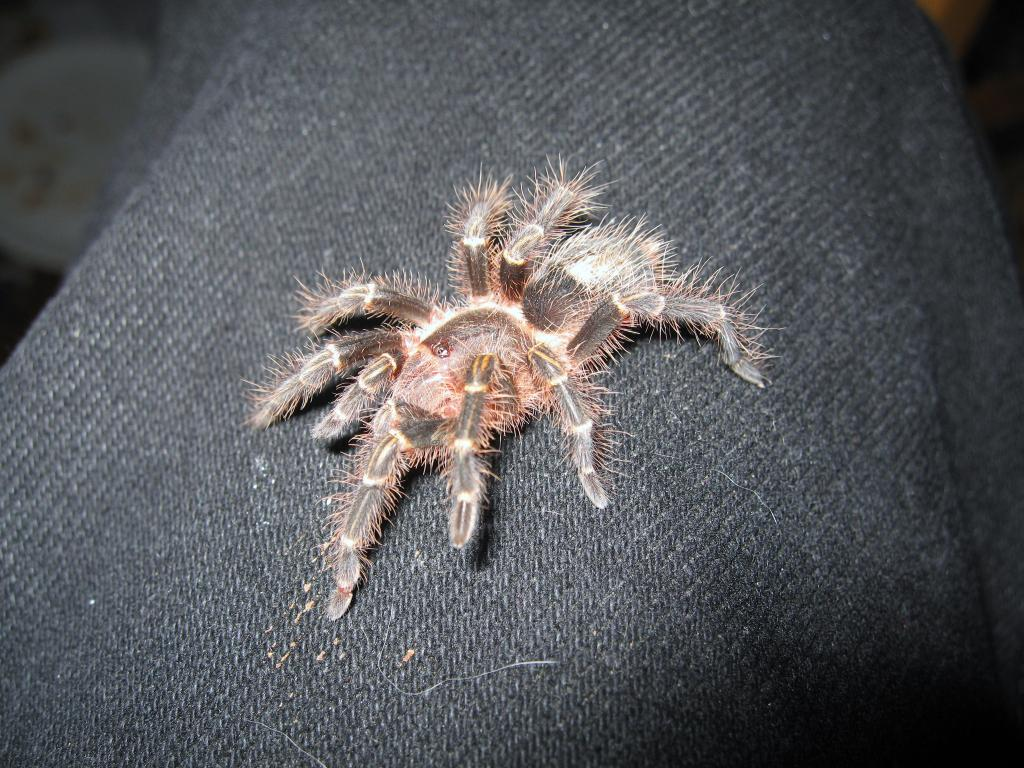 Tillie, the G. aureostriata