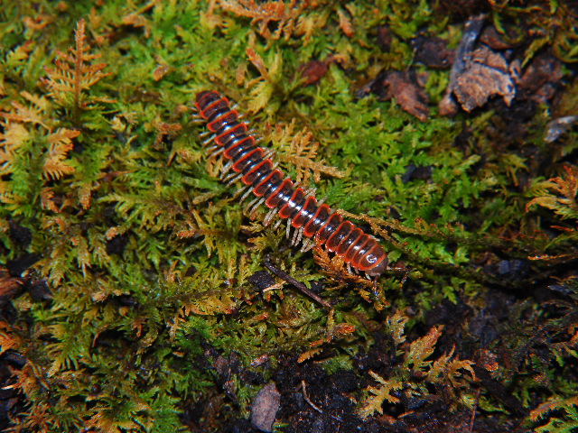 uknown millipede